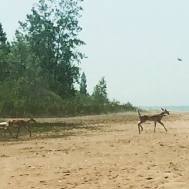 Fawns on a beach