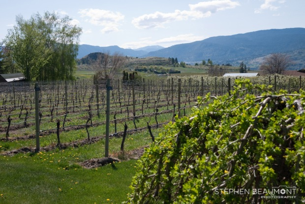 VIneyard in Okanagan